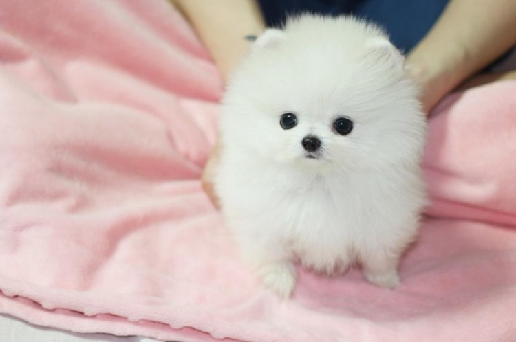 Fabulous Baby Faces Ice White TeaCup Pomeranian Puppies