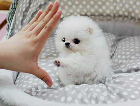 Super Rare Ice White Tea Cup Pomeranian Puppies Available Rio Rancho Nm Orangedove Net