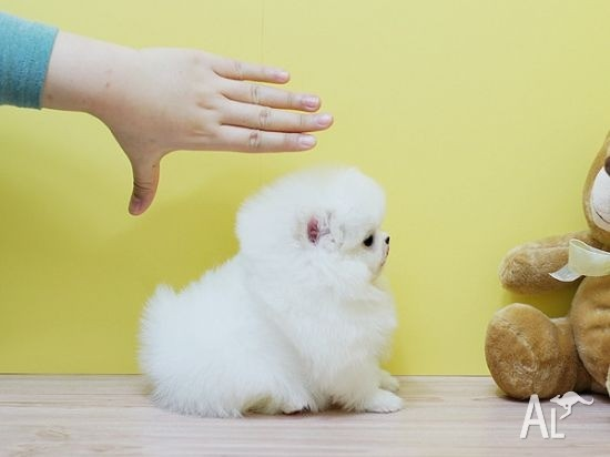 SUPER RARE! Ice White Tea Cup Pomeranian Puppies Available