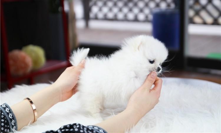 Cute Pomeranian Puppies For Re Homing Houston Tx Orangedovenet
