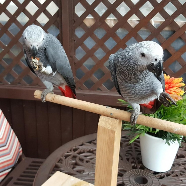 Gorgeous Hand Reared Baby African Grey Parrots