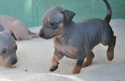 Stunning American Hairless Terrier Puppies