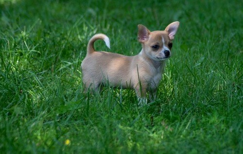 Quality Chihuahua Puppies For Sale