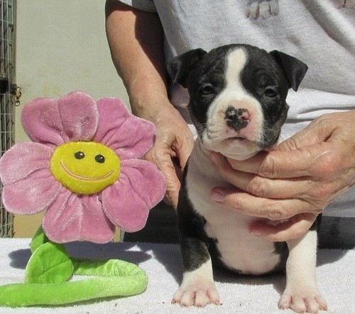 Gorgeous Boston Terrier Kc Registered Puppies