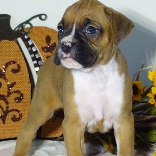11 Week Old Boy Boxer Puppies