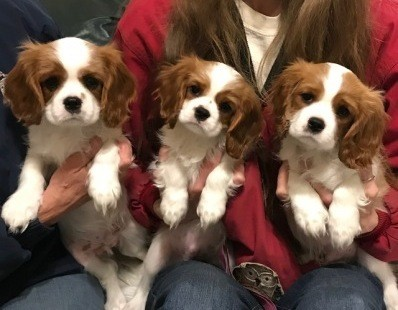 Beautiful Cavalier King Charles Spaniel puppies for sale