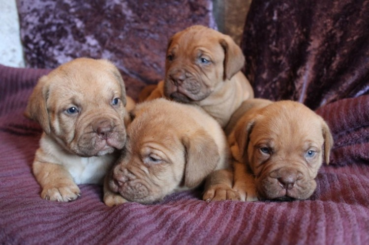 Dogue De Bordeaux Reg Dogue Babies